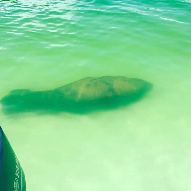 Even manatees visit us.